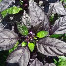 Black Pearl pepper *HOT* 10 seeds