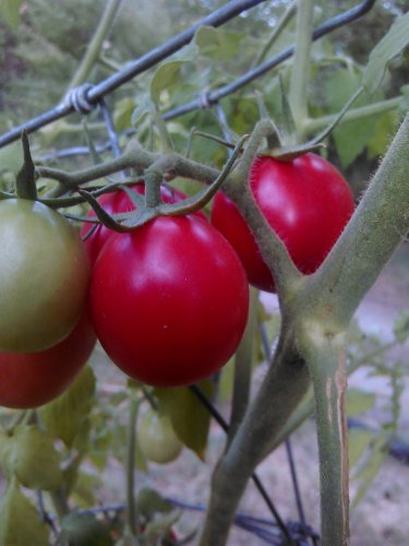 Pearly Pink Cherry tomato