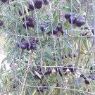 Black Opal Heirloom tomato 20 seeds