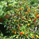 Bolivian Rainbow Heirloom hot pepper *Seeds of Life*