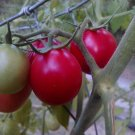 Pearly Pink Cherry Tomato *HEIRLOOM* 20 seeds