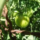 Green Vernissagge Tomato 20 seeds *HEIRLOOM*  NON GMO