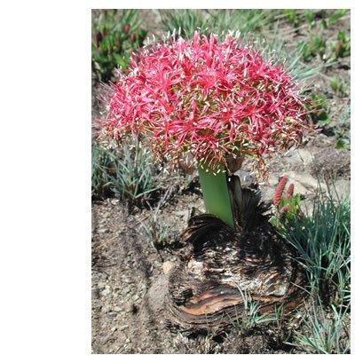Boophane Disticha Bulb Flowering Size By Thailandnursery