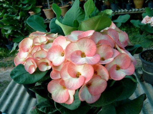 Euphorbia milii , crown of thorns , Amazing, Rare By Thailandnursery