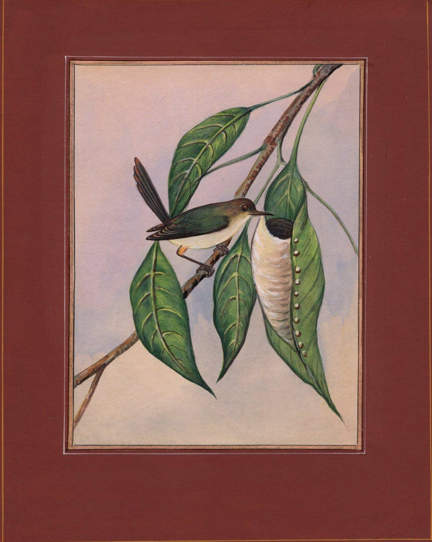 Indian Tailor Bird Miniature Painting Handmade Ethnic Ornithology Nature Artwork