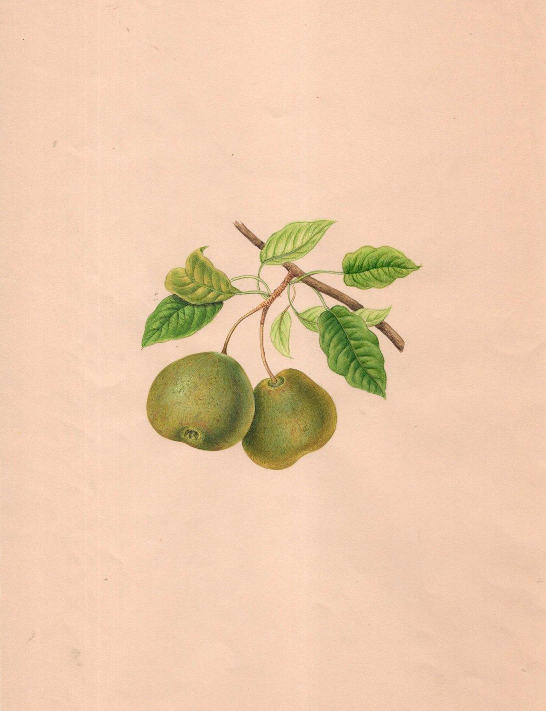 Indian Green Pear Fruit Painting Handmade Wild Plant Nature Mogul Miniature Art