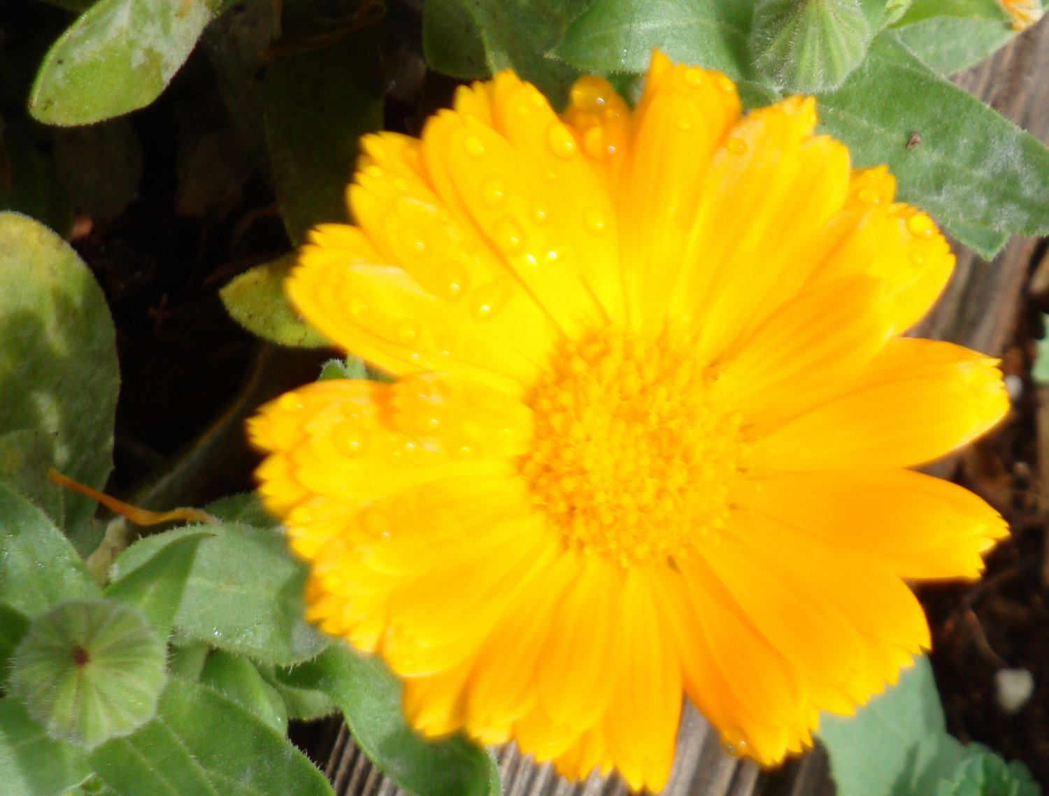 Sea of Gold & Orange Mix Calendula Seeds - Double & Single Petals