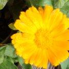 Sea of Gold & Orange Mix Calendula Seeds - Double & Single Petals