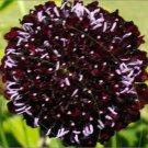 Chat Noir Scabiosa Seeds