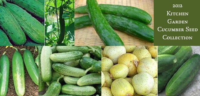 Zagross Middle Eastern Cucumber Seeds