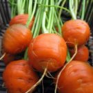 Tonda di Parigi Carrot Seeds ~ Excellent French Carrot!