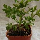 Mint- Rose Scented Geranium/Pelargonium Plant