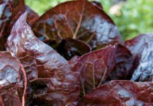 Marshall Romaine Lettuce Seed ~ Intense Burgundy Lettuce