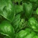 Sweet Italian Basil Seeds