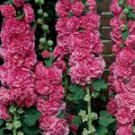 Summer Carnival Rosy Pink Hollyhock Seeds ~ Double Flowering Beauty!