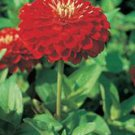 Giant Scarlet Flame Zinnia Seeds
