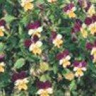 Helen Mount Johnny Jump Up Seeds
