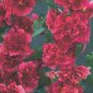 Summer Carnival Rosy Red Hollyhock