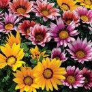 Gazania Mixed Colors Seeds