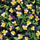 Johnny Jump Up Viola Seeds