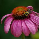 Purple Coneflower ~ Echinacea Seeds