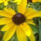 Black-Eyed Susan Rudbeckia Seeds