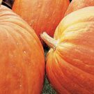 First Prize Pumpkin hybrid Seeds