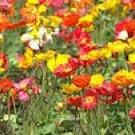 Shirley Poppy  Mix Seeds