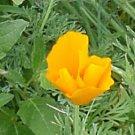 California Poppy Seeds
