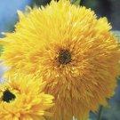 Teddy Bear Sunflower Seeds