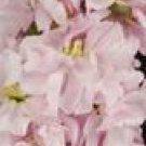 Column Sweetheart Pink Stock Seeds