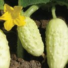 Miniature White Cucumber Seeds