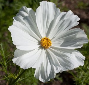 Sonata White Cosmos Seeds