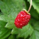 Mignonette Strawberry Seeds