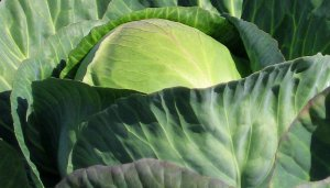 Bobcat Cabbage Seeds