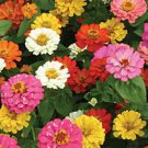 Thumbelina Zinnia Mix Seeds