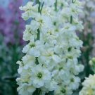 Miracle White Stock Seeds