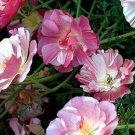 Poppy, APPLEBLOSSOM CHIFFON Poppy Seeds ~ Pretty Cottage Garden Flowers!
