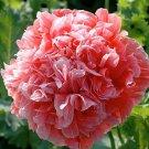 Poppy, FROSTED SALMON PEONY Poppy Seeds ~ Gorgeous Peony!