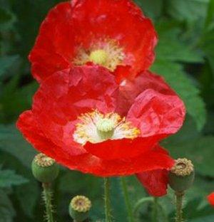 Poppy, AMERICAN LEGION Poppy Seeds