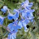 Delphinium, Cliveden Beauty Delphinium Seeds - Gorgeous Light Blue Flowers!