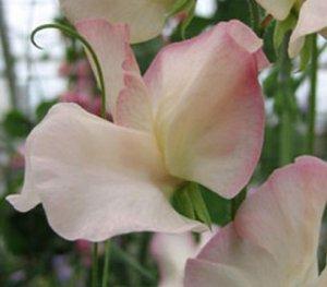 Sweet Pea, Mollie Rilestone Sweet Pea Seeds
