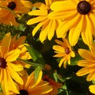 Rudbeckia, Brown Eyed Susan Rudbeckia Seeds