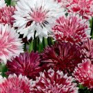 Bachelor Button, Romantic Cornflower Seeds