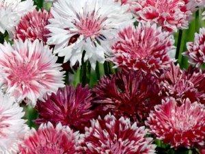 Bachelor Button, Romantic Cornflower Seeds