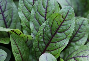 Sorrel, Red Veined Sorrel Seeds