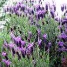 Salt Scrub-Lavender