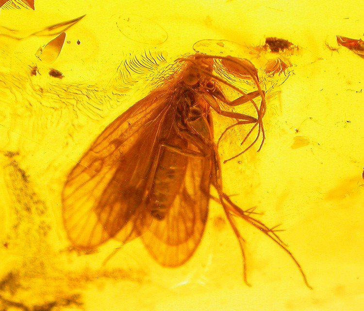 Great CADDISFLY fossil insect inclusion in Baltic amber