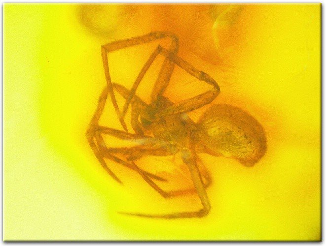 Nice fossil spider inclusion in Baltic amber (61)