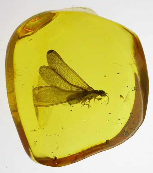 Large termite fossil insect inclusion in Baltic amber
